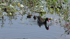 Common Gallinule with the chicks