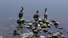 Double-crested Cormorants near lake