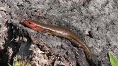 ground skink sunning on a tree