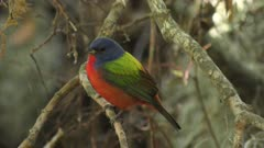 painted bunting male on a branch