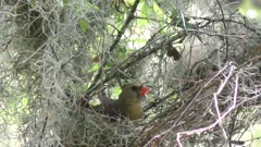 Northern cardinal female building a nest