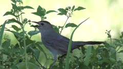 gray catbird calls and eats berries