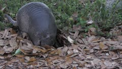 Nine-banded armadillo looking for food