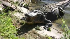 large alligator yawning