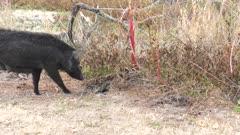Wild hog feeding her piglets in Florida wetlands