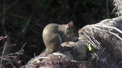 squirrel eating a bird egg on a tree