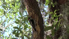 Downy Woodpecker male on a tree