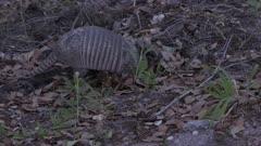 Nine-banded armadillo feeding