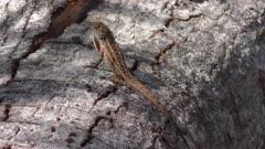 Common Florida Lizard on a tree