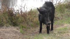 wild hog female feeds in Florida wetlands