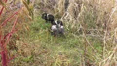 wild piglets play in Florida wetlands