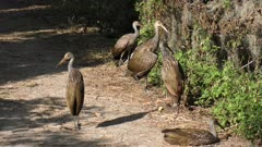 limpkins resting in wetlands