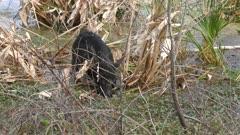 wild hog feeds in Florida marsh