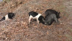 wild piglets feed in Florida wetlands