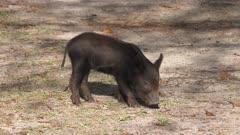 wild  piglet in Florida wetlands