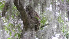 Barred Owl in Florida woods
