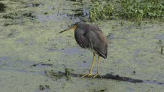 Tricolored Heron in a swamp
