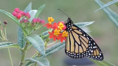 Monarch butterfly feeds on Milkweed Plant