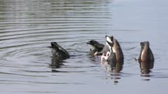 Black-bellied Whistling-Ducks in a lake
