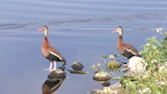 Black-bellied Whistling Ducks near water