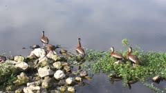 Black-bellied Whistling-Ducks near lake