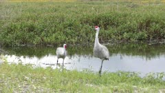 Sandhill Cranes in Florida wetlands
