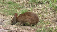 Marsh Rabbit feeds on grass