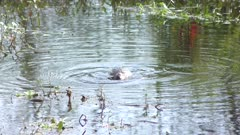 Pied-Billed Grebe downing a fish