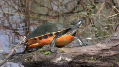 Florida Red-bellied Turtle basking