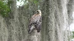 Red-Shouldered Hawk with one eye missing