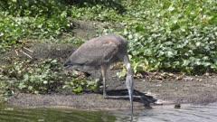 immature great blue heron near water