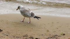 young seagull near lake