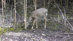 Young white-tailed deer male feeds in the woods