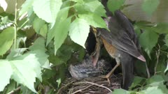 american robin takes care of its chicks