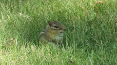 chipmunk in the grass