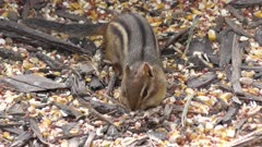 chipmunk stuffs seeds in its mouth