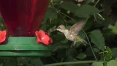 Ruby- throated hummingbird female feeds