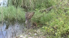 adult and a baby limpkins feed in a swamp