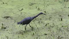 little blue heron feeds in a swamp