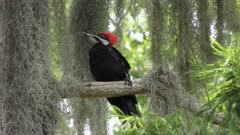 young Pileated Woodpecker male perches