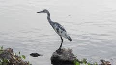 immature Little Blue Heron near water