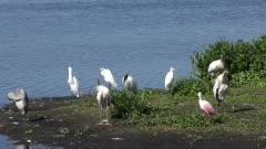 large birds resting near Florida lake