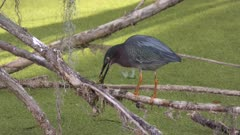 green heron feeds on frog in a swamp