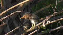 green heron chicks perching on a palm tree