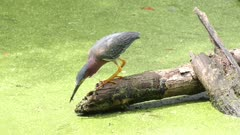 green heron feeds on fish in a swamp