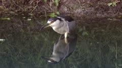 Black-crowned Night Heron in a pond