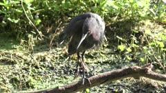 Little Blue Heron with a broken leg in Florida swamp