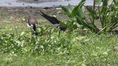 Black-necked Stilts near nest in Florida wetlands