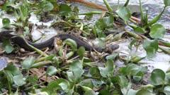 large water snake near lake