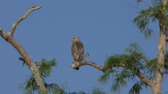 Red-Shouldered Hawk on a tree